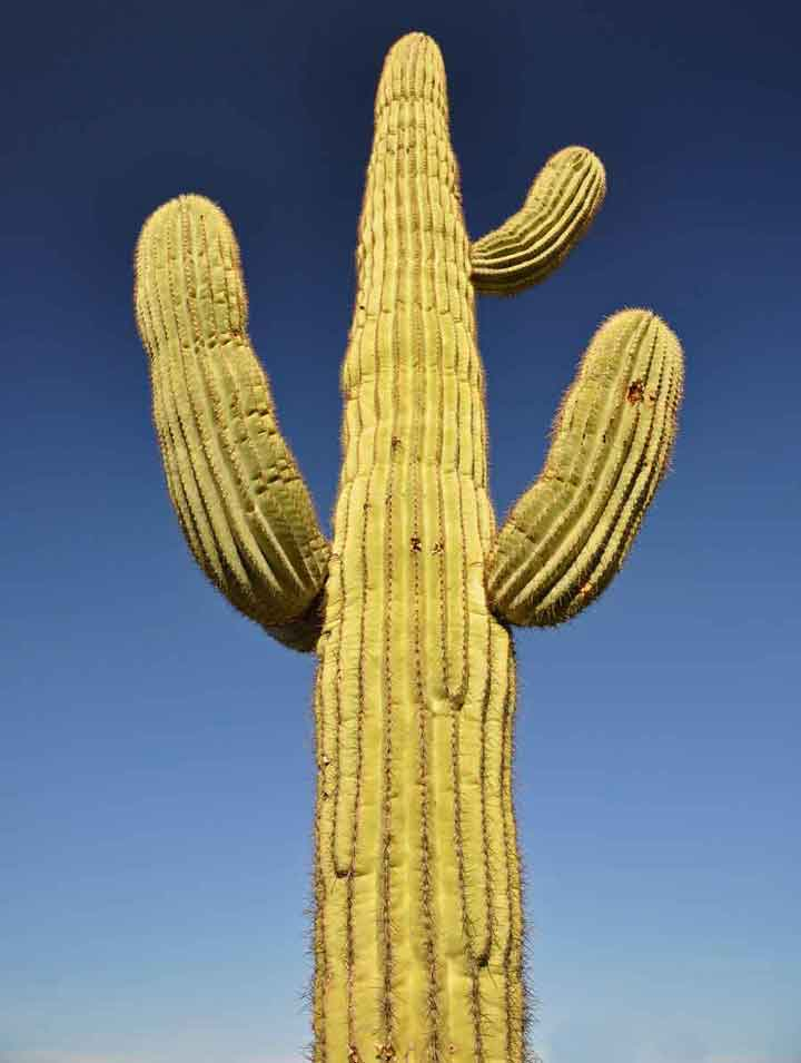 seemingly happy saguaro